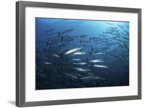 A School of Barracuda Above a Coral Reef in the Solomon Islands-Stocktrek Images-Framed Art Print