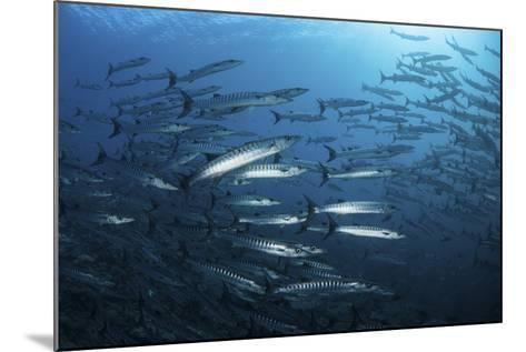 A School of Barracuda Above a Coral Reef in the Solomon Islands-Stocktrek Images-Mounted Photographic Print
