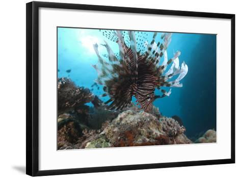 A Large Common Lionfish Swimming at Beqa Lagoon, Fiji-Stocktrek Images-Framed Art Print