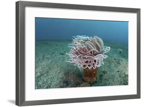 A Tube Anemone Grows on a Sandy Seafloor in Indonesia-Stocktrek Images-Framed Art Print