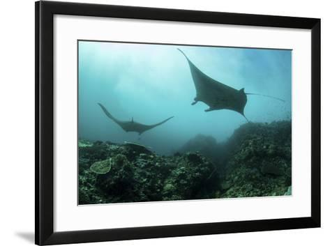Manta Rays Swims Through a Current-Swept Channel in Indonesia-Stocktrek Images-Framed Art Print