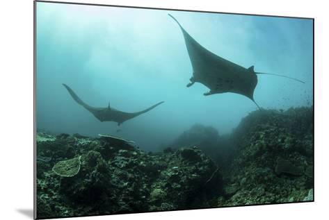 Manta Rays Swims Through a Current-Swept Channel in Indonesia-Stocktrek Images-Mounted Photographic Print