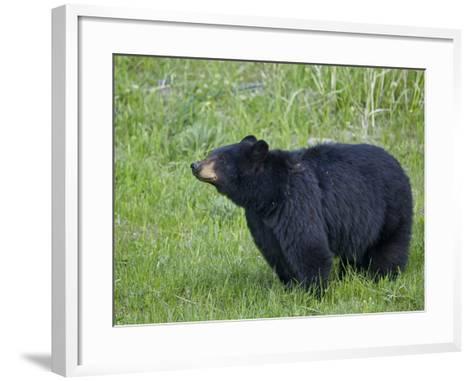 Black Bear (Ursus Americanus), Yellowstone National Park, Wyoming, United States of America-James Hager-Framed Art Print