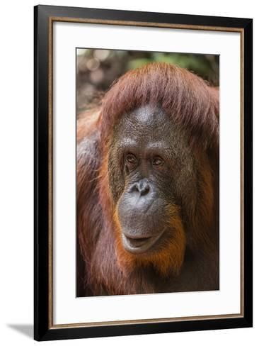 Reintroduced Female Orangutan (Pongo Pygmaeus), Indonesia-Michael Nolan-Framed Art Print