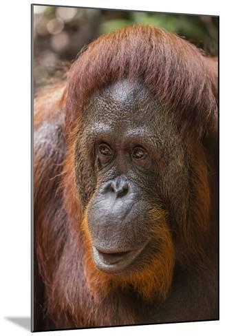 Reintroduced Female Orangutan (Pongo Pygmaeus), Indonesia-Michael Nolan-Mounted Photographic Print