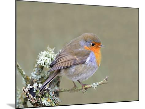 Robin (Erithacus Rubecula), Lake District, Cumbria, England, United Kingdom, Europe-David and Louis Gibbon-Mounted Photographic Print