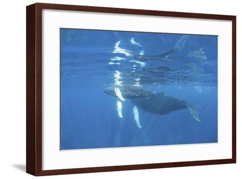 Mother and Calf Humpback Whales Swimming Just under the Surface-Stocktrek Images-Framed Art Print