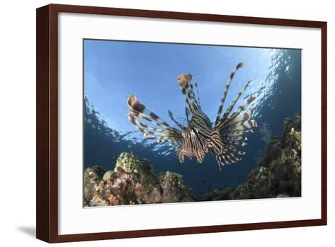 Facial View of a Lionfish Showing its Spines-Stocktrek Images-Framed Art Print