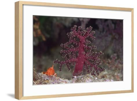 Small Soft Coral, Beqa Lagoon, Fiji-Stocktrek Images-Framed Art Print
