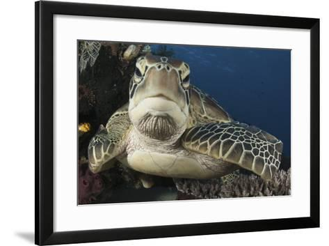 A Green Turtle Resting on a Reef Top in Komodo National Park, Indonesia-Stocktrek Images-Framed Art Print