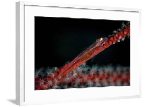 A Tiny Ghost Goby Lays on a Gorgonian-Stocktrek Images-Framed Art Print