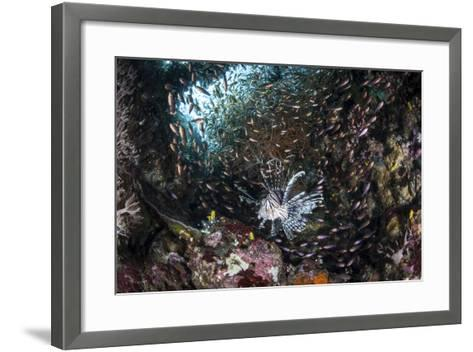 A Lionfish Hunts for Prey on a Colorful Coral Reef-Stocktrek Images-Framed Art Print