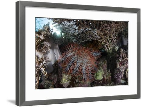 A Crown-Of-Thorns Starfish Feeds on Corals on a Reef-Stocktrek Images-Framed Art Print
