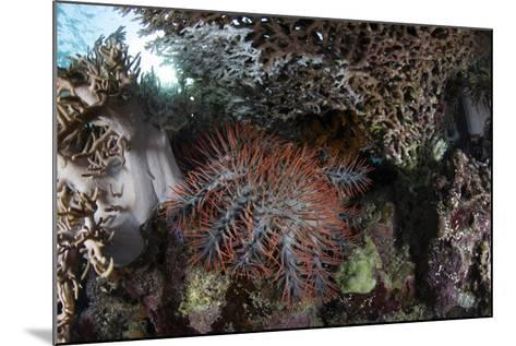 A Crown-Of-Thorns Starfish Feeds on Corals on a Reef-Stocktrek Images-Mounted Photographic Print