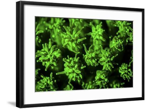 A Coral Colony Fluoresces as Uv Light Is Shown Upon It-Stocktrek Images-Framed Art Print