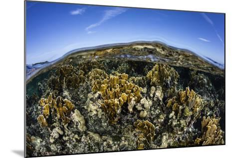 Fire Corals Grow Along a Reef Crest in the Caribbean Sea-Stocktrek Images-Mounted Photographic Print