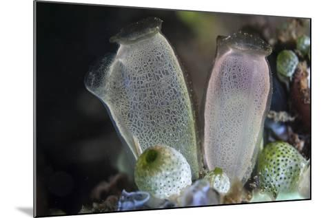 A Pair of Tunicates Grow on a Reef in Lembeh Strait, Indonesia-Stocktrek Images-Mounted Photographic Print
