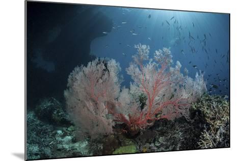Sunlight Illuminates a Large Gorgonian Growing on a Reef in Raja Ampat-Stocktrek Images-Mounted Photographic Print