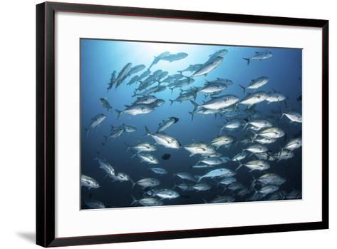 A School of Big-Eye Jacks Above a Coral Reef-Stocktrek Images-Framed Art Print