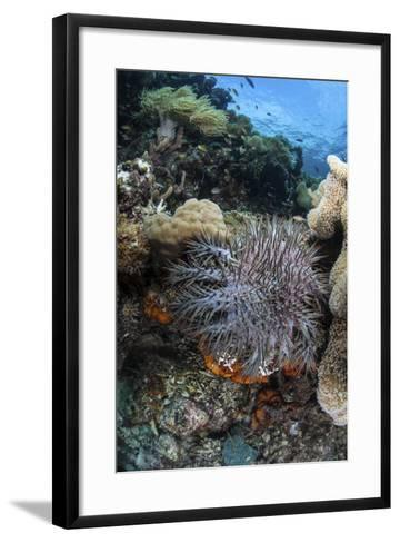 A Crown-Of-Thorns Starfish on a Reef in Indonesia-Stocktrek Images-Framed Art Print