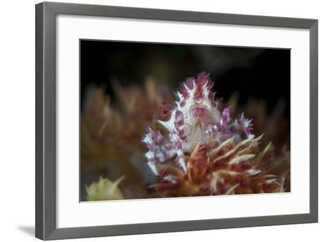 A Soft Coral Crab Clings to its Host Soft Coral on a Reef-Stocktrek Images-Framed Art Print