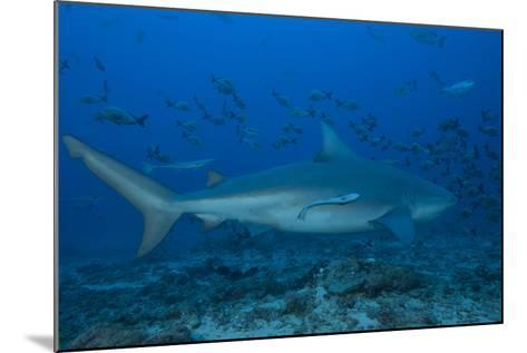 A Large Bull Shark at the Bistro Dive Site in Fiji-Stocktrek Images-Mounted Photographic Print