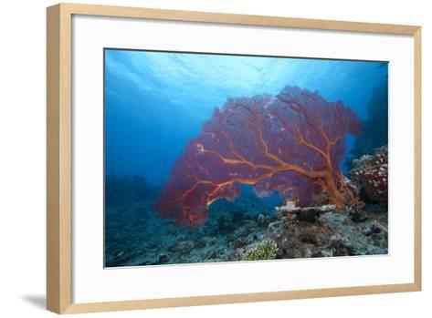 A Large Gorgonian Sea Fan on a Fijian Reef-Stocktrek Images-Framed Art Print