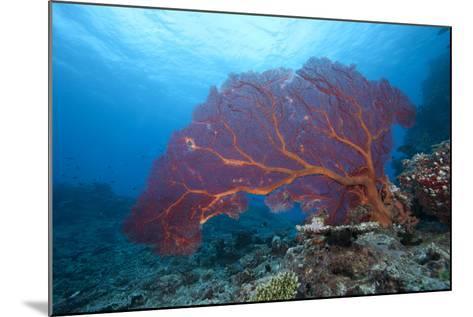 A Large Gorgonian Sea Fan on a Fijian Reef-Stocktrek Images-Mounted Photographic Print