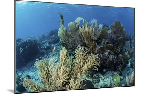 A Colorful Set of Gorgonians on a Diverse Reef in the Caribbean Sea-Stocktrek Images-Mounted Photographic Print
