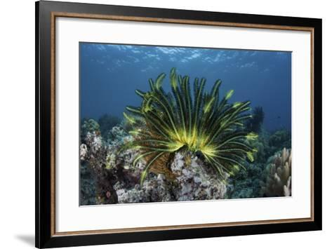 A Colorful Crinoid Clings to a Reef Near the Island of Flores in Indonesia-Stocktrek Images-Framed Art Print