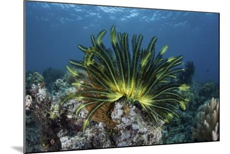 A Colorful Crinoid Clings to a Reef Near the Island of Flores in Indonesia-Stocktrek Images-Mounted Photographic Print