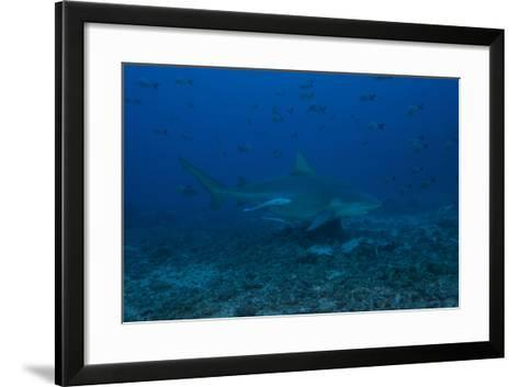 A Large Bull Shark at the Bistro Dive Site in Fiji-Stocktrek Images-Framed Art Print