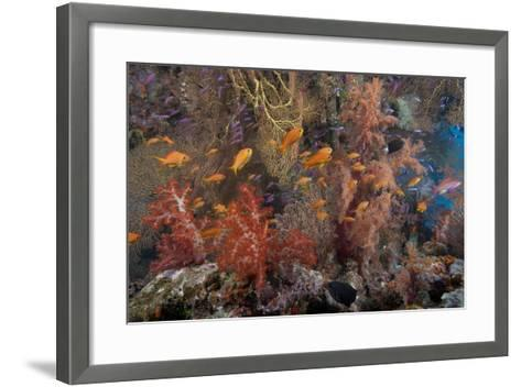Schooling Scalefin Anthias Fish and Soft Corals of Beqa Lagoon, Fiji-Stocktrek Images-Framed Art Print