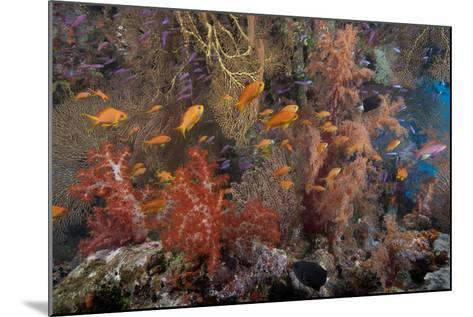 Schooling Scalefin Anthias Fish and Soft Corals of Beqa Lagoon, Fiji-Stocktrek Images-Mounted Photographic Print