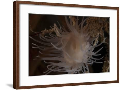 Cup Coral Polyps Hang under a Ledge on a Reef in Fiji-Stocktrek Images-Framed Art Print