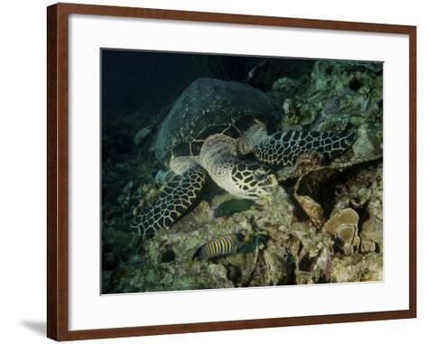 Hawksbill Sea Turtle Feeding, Bunaken Marine Park, Indonesia-Stocktrek Images-Framed Art Print