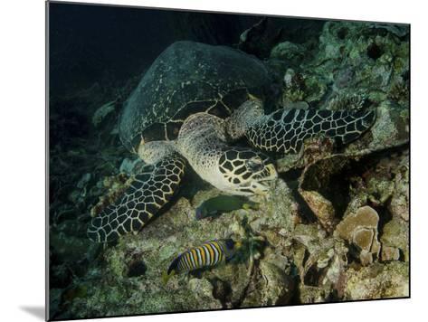 Hawksbill Sea Turtle Feeding, Bunaken Marine Park, Indonesia-Stocktrek Images-Mounted Photographic Print