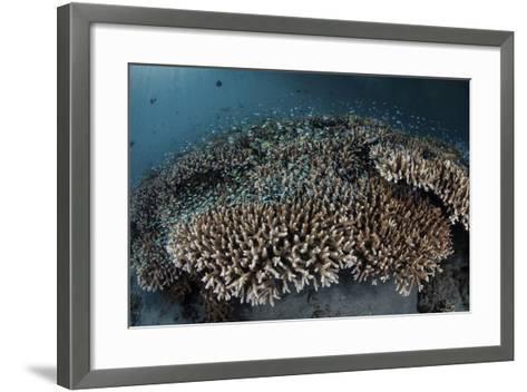 Damselfish Swim Above Corals in Komodo National Park, Indonesia-Stocktrek Images-Framed Art Print
