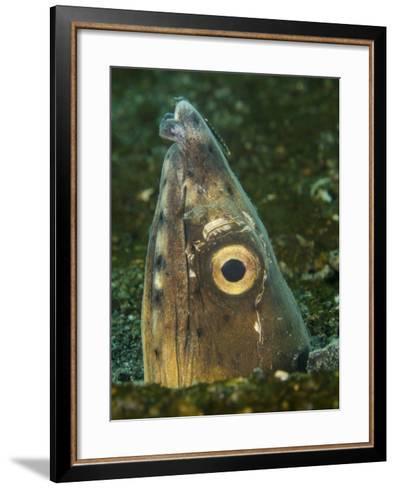 Close-Up of a Blacksaddle Snake Eel Head, Lembeh Strait, Indonesia-Stocktrek Images-Framed Art Print