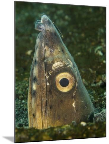 Close-Up of a Blacksaddle Snake Eel Head, Lembeh Strait, Indonesia-Stocktrek Images-Mounted Photographic Print