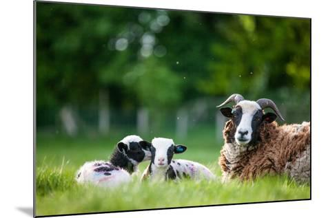 Spring Lambs, Dorset, England, United Kingdom, Europe-John Alexander-Mounted Photographic Print