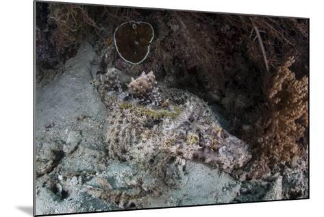 A Crocodilefish Lies on a Reef in Indonesia-Stocktrek Images-Mounted Photographic Print