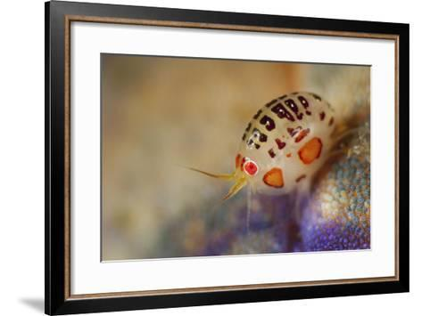 Close-Up View of a Ladybug Amphipod, Cyproidea Species-Stocktrek Images-Framed Art Print