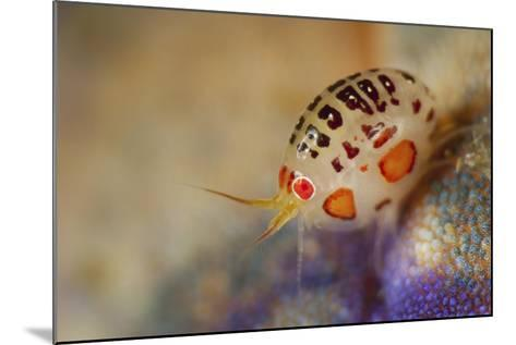 Close-Up View of a Ladybug Amphipod, Cyproidea Species-Stocktrek Images-Mounted Photographic Print