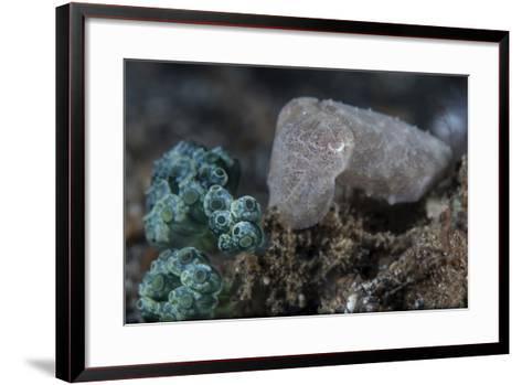A Pygmy Cuttlefish Blends into its Environment-Stocktrek Images-Framed Art Print
