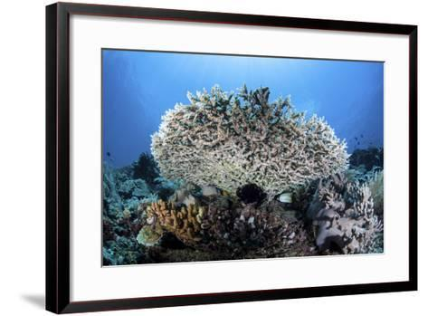A Table Coral Grows on a Beautiful Reef Near Sulawesi, Indonesia-Stocktrek Images-Framed Art Print