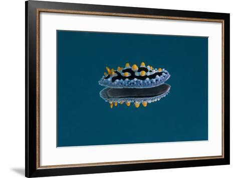 Phyllidia Coelestis Nudibranch on Blue Background-Stocktrek Images-Framed Art Print