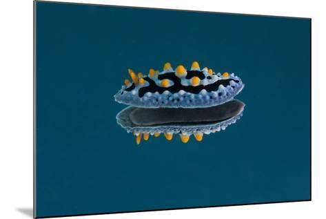 Phyllidia Coelestis Nudibranch on Blue Background-Stocktrek Images-Mounted Photographic Print