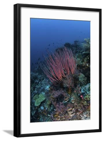 A Colony of Sea Whips Grows on a Coral Reef in Indonesia-Stocktrek Images-Framed Art Print