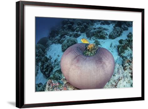 Pink Anemonefish Swim Close to their Host Anemone-Stocktrek Images-Framed Art Print
